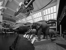 Natural History Museum in London black and white. LONDON, UK - CIRCA JUNE 2017: Elephant, Rhino, whale at the Natural History Museum on Exhibition Road in South royalty free stock images