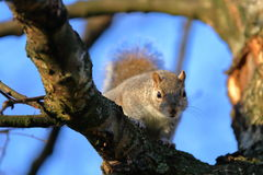 LONDON, UK: A cute Grey Squirrel on a tree Royalty Free Stock Image