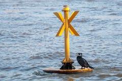 LONDON/UK - 13. FEBRUAR: Großer schwarzer Kormoran in züchtender Pflaume Lizenzfreies Stockfoto