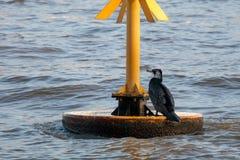 LONDON/UK - 13. FEBRUAR: Großer schwarzer Kormoran in züchtender Pflaume Stockbilder