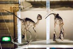 LONDON UK - JULI 27, 2015: Naturhistoriamuseum - detaljer från Dinosaurusen Arkivfoto