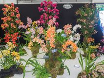 RHS Chelsea Flower Show 2017. Variegated orchids display. LONDON, UK - MAY 25, 2017: RHS Chelsea Flower Show 2017. Variegated orchids display Royalty Free Stock Photos