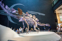 LONDON, UK, Natural History museum - The most complete stegosaurus Royalty Free Stock Images