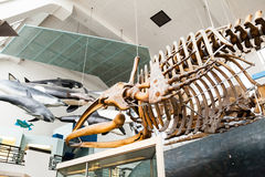 LONDON, UK, Natural History Museum - whales skeletons Stock Photography