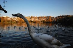 London, UK: Passerby feeding swan in Hampstead Heath pond royalty free stock images