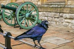 Captive raven at Tower of London, UK Stock Photos