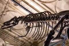 Dinosaur skeleton - Tyrannosaurus Rex royalty free stock photo