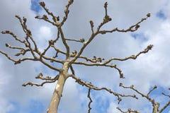 Londyńscy płascy drzewa - stołowy odgórny cięcie Zdjęcie Royalty Free