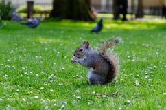 Londyński miasto, Anglia/: Popielaty wiewiórczy łasowanie arachid w St James parku obrazy royalty free