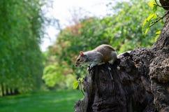 Londyński miasto, Anglia/: Popielaty wiewiórczy łasowanie arachid w St James parku zdjęcia royalty free