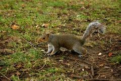 Londyńska wiewiórka Zdjęcia Stock