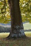 Londyński Płaski drzewo w jesieni Fotografia Royalty Free