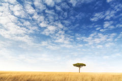 Lone acacia tree in the Masai Mara. Kenya. Solitary tree in the typical red oat grass of the region, with blue sky and wispy cloud background. Space for your Royalty Free Stock Images