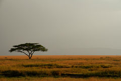 Lone AcaciaTree mot den expansiva dimmiga skyen Royaltyfria Bilder