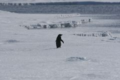 Lone adelie penguin. Walking on the sea ice in the Weddell Sea Stock Images