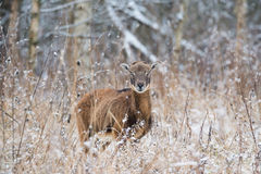 A lone adult brown moufflon female standing in snow-covered dry grass against the background of a winter forest. stock images