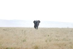 A lone African elephant moving in the savannah grassland during rain Stock Images