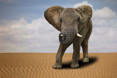 Lone African Elephant Outdoors in Daylight Royalty Free Stock Image
