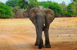 A Lone African Elephant standing on the open savannah in south luangwa national park. African Elephant with a broken tusk standing on the open dry plains with a Stock Photography