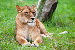 Lone African Lion Royalty Free Stock Images