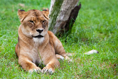 Lone African Lion Stock Images