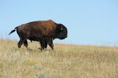 Lone American Bison in South Dakota. A lone American Bison runs across the open plains in Custer State Park South Dakota royalty free stock photos