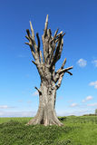 Lone ancient Tree against a blue sky Royalty Free Stock Photos