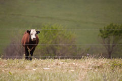 Lone Angus Steer Royalty Free Stock Image
