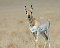 Lone antelope Stock Photo