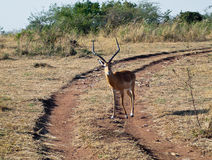 Lone antelope standing on the road  Royalty Free Stock Photography