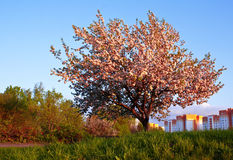 Lone apple tree in blossoming. On background of the city Stock Photos