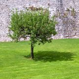 Lone apple tree and its shadow Royalty Free Stock Image