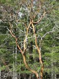 Arbutus Tree. A lone Arbutus Tree stands in this forest Stock Photography