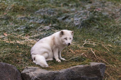 Lone Arctic fox in a grassy environment Stock Photography