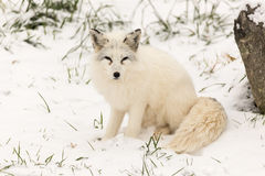 Lone Arctic Fox in a winter environment Royalty Free Stock Image
