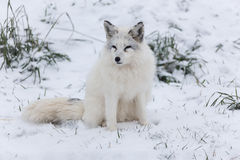 Lone Arctic Fox in a winter environment Stock Photos