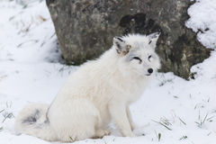 Lone Arctic Fox in a winter environment Royalty Free Stock Photos