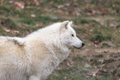 A lone Arctic Wolf Stock Photo
