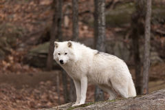 A lone Arctic Wolf Stock Image