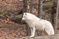 A lone Arctic Wolf Royalty Free Stock Image