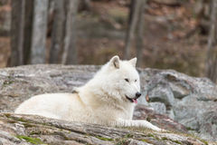 A lone Arctic Wolf Royalty Free Stock Photography