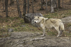 A lone Arctic Wolf in fall Stock Photography