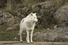 A lone Arctic Wolf in fall Stock Photos