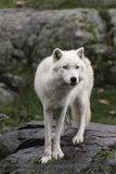Lone Arctic Wolf in a fall, forest environment Stock Photography