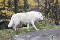 Lone Arctic Wolf in a fall, forest environment Royalty Free Stock Photography