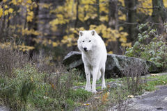 Lone Arctic Wolf in a fall, forest environment Royalty Free Stock Image