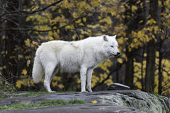 A lone Arctic Wolf Royalty Free Stock Photo