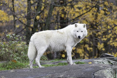 A lone Arctic Wolf Royalty Free Stock Images