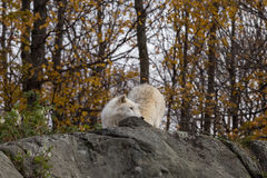 A lone Arctic Wolf in the fall season Stock Image