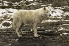 A lone Arctic Wolf in fall Stock Image